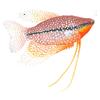 pet-destaque-id-76-tricogaster-leeri-6c6